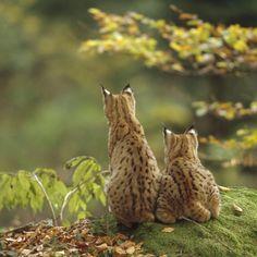 Lynx, kittens,