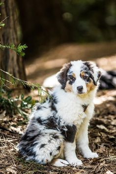 Beautiful Australian Shepherd Puppy. h4ilstorm: Puppy (by Thomas Hawk) #australian #shepherds #canines #dogs #puppies #pets #companions #animals #bokeh #photography