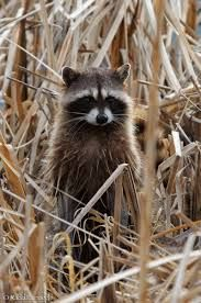 Cute racoon hiding in the grass #crueltyfreebeauty