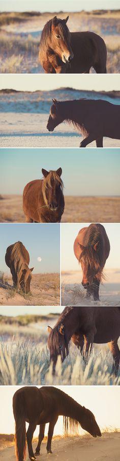 Wild Assateague Ponies - Natalie Buck Photography  wild horse photography by Natalie Buck  #wild #horse #photography #photographer #pony #ponies #beach #assateague #chincateague