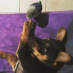 Ciao amico pennuto!!! #BauSocial  Foto di: @vale_mini_  Follow our pawtners: @miaosocial @areacmilano  Non disturbare il can che dorme  #buongiorno #buongiornocosi #roy #prince #pinscher #cucciolo #pappagallo #inseparabile #amici #disturbare #cane #dorme #sveglia #divano #mattina #sonno #giovedi #instaphoto #photo #photooftheday #instagood #instafun #instapet #instalove #instalike #instagood #valeriamini