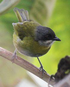 Ashy-throated Bush-Tanager, Costa Rica