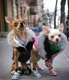 Chihuahua is considered to be one of the most stylish breeds. Cute Chihuahua, Chihuahua Puppies, Cute Puppies, Cute Dogs, Dogs And Puppies, Baby Animals, Funny Animals, Cute Animals, Bulldog
