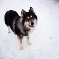 Native American Indian Dog is a hypoallergenic large breed dog. They come in a variety of colorings and range in size from 23-34 inches and 55 to 120 lbs. They are an extremely healthy dog and have a life span of 14-19 years.