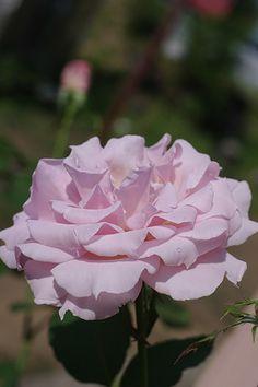 Hybrid Tea Rose: Rosa 'La Marie' (Japan, before 2011)
