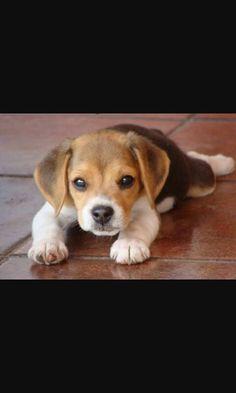 Precious Beaglet