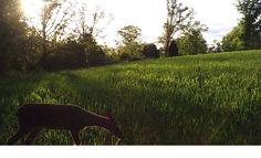 winter wheat food plot for deer