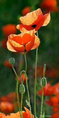 Poppy flowers. I have tons of these that bloom in my yard every year. They are so stunning!