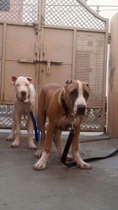 9 Best Bully Kutta Images Giant Dogs Huge Dogs Beautiful Dogs