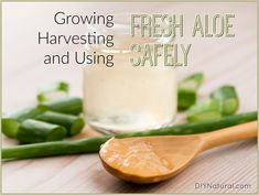 Aloe vera uses range from external cuts and burns to internally as a digestive aid. Be sure to know these safe use guidelines and consider growing your own!