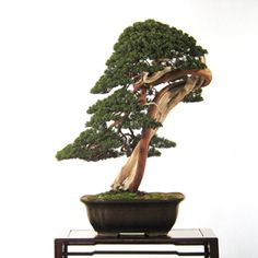 Juniper Bonsai. Not sure if im into manipulating them to grow like this tho