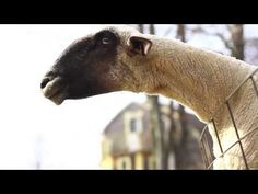 Sounds by Goats