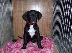 great dane puppies - Google Search