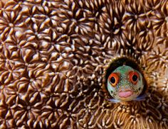 A Blenny fish peeking out from its coral habitat. I LOVE, LOVE, LOVE Blennies.