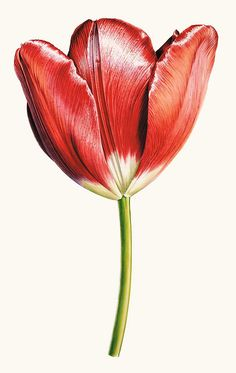 Rory McEwen, Tulip 'Helen Josephine' (rose breeder), 1975 | Watercolour on vellum BBC - BBC Arts - In Search of Rory McEwen