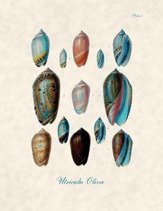 Botanical Illustration, Graphic Illustration, Technical Illustration, Shell Tattoos, Painted Shells, Beach Art, Sea Creatures, Botanical Prints, Sea Shells