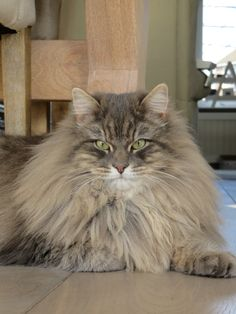 Max our Siberian Cat at 17 months.
