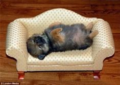 Every dog has its daydream: A miniature sofa provided the perfect napping space for this little pup