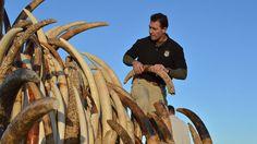 Interdiction quasi-totale du commerce d'ivoire aux États-Unis  - Les États-Unis vont fortement restreindre le commerce d'ivoire issu d'éléphants d'Afrique, aussi bien à l'international que sur son territoire, a annoncé jeudi 2 juin l'US Fish and Wildlife Service. À quelques exceptions près, dont les instruments de musique et les objets anciens. Un article de notre partenaire, le Journal de l'Environnement.