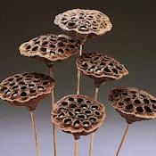 Lotus Pods Stemmed - 6 per bunch. Great for the base of a arrangement - DriedDecor.com