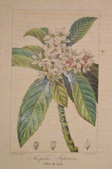 "bessa botanicals- 4 french 1836 hand coloured engraving 7.5 x 10"" $110"