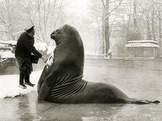 Roland, a pound Sea Elephant, getting a snow bath from his handler at Berlin Zoo, date unknown. Roland lived in Berlin from the late until his death in An interesting era to be alive as a Sea Elephant in Berlin. The Zoo, Berlin Zoo, Sea Elephant, Funny Animals, Cute Animals, Photos Rares, Leopard Cub, History Photos, Snow