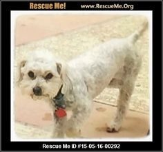 Rescue Me ID: 15-05-16-00292Chai (female)  Maltese Mix  Age: Young Adult  Compatibility:Good w/ Most Dogs, Good w/ Most Cats, Good w/ Adults (Not Kids) Personality:Average Energy, Average Temperament Health:Spayed, Vaccinations Current   Adoption Fee: $250Animal Location:  New Mexico   Contact: Shawn   Facebook:Email to FriendProblems/CorrectionsMark As Unavailable