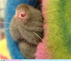 rat nose!