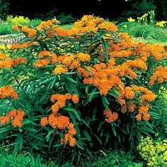 """Asclepias tuberosa 'gay butterflies' (Butterfly Weed) -30"""" x 12"""" -Likes poor, sandy soils (dry) -Host plant for the Monarch Butterfly -- caterpillars are striped black, yellow, white -Zone 3-9"""