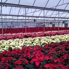 Poinsettias from Cros-B-Crest Farm, Staunton, VA