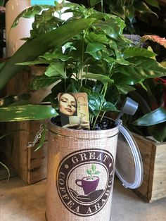 Coffea Arabica: pianta del caffè  decorative plant