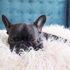 'Posh', the French Bulldog.