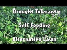 'Fleur de Lawn' Drought Tolerant, Self Feeding Alternative Lawn (Mowable...