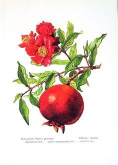 Pomegranate, Vintage 1957 Botanical Print with Bible Verse Book Plate Pomegranate Drawing, Pomegranate Tattoo, Pomegranate Art, Botanical Tattoo, Botanical Prints, Fruit Illustration, Fruit Painting, Gravure, Flower Tattoos