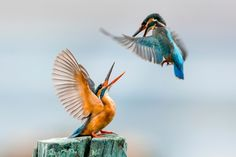 Two common kingfishers fight over a perch near Dal Lake in Srinagar, Indian administered Kashmir.