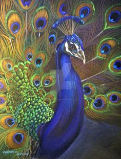 """9"""" X 12"""" Prismacolor Pencils drawn on Black Paper a Peacock drawing based on my own photos."""