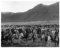 Cowboys & the ranches herd of cattle