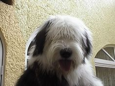 old english sheepdog - This looks just like my Ragsdale! Old English Sheepdog snuggles are among the highest quality snuggles I've ever received!