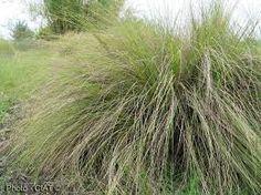 Eragrostis Curvula x 100 Done The 100, Herbs, Plants, Garden, Herb, Plant, Planets, Medicinal Plants