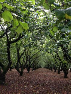 Hazelnut Orchard. Willamette Valley!