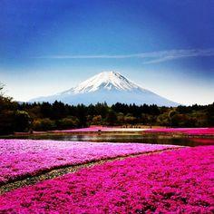 "#Goodmorning ☻☻☻ #朝の1枚 One taken in the morningღ "" moss phlox & Mt.Fuji 芝桜 "" Have a beautiful day!!!!! #sun #sunrise #PhantaFUJIc #mtfuji - @phantastic420- #instagram"
