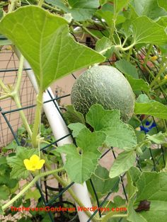 Vertical vegetable gardens 53480314311434708 - Cantaloupe on the trellis Source by BiancaRechter Planting Cantaloupe, Growing Cantaloupe, Growing Melons, How To Grow Cantaloupe, Vertical Vegetable Gardens, Vertical Farming, Vegetable Gardening, Veg Garden, Fruit Garden