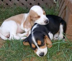 Sadie and Flo the Beagles.One is a Lemon Beagle & the other is a Black cap tri-color.