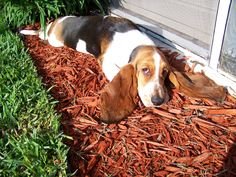Check Out These Ears #BassetHound