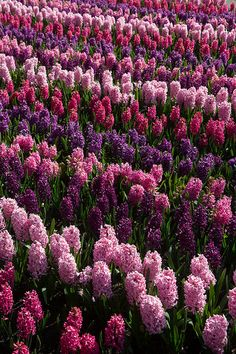 ❤ Can you imagine the fragrance in the air?!  Beautiful shades ~ rows & rows of hyacinth....