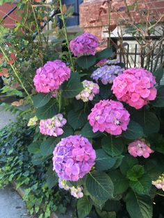 Multiple color hydrangeas