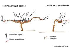 Taille de la vigne en guyot double ou simple Chenin Blanc, Cabernet Sauvignon, Permaculture, Horticulture, Bb, Articles, Gardening, Deco, Simple