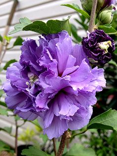 Shrubs Blueberry Smoothie™ PPAF Althea - Rose of Sharon - 3 Gallon - Althea Shrubs - Hibiscus Flowers, Exotic Flowers, Purple Flowers, Beautiful Flowers Garden, Flowers Nature, Pretty Flowers, Shade Garden Plants, Garden Shrubs, Rose Of Sharon Tree