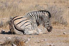 Zebra lying down, Etosha, Namibia by Grobler Du Preez, via Dreamstime