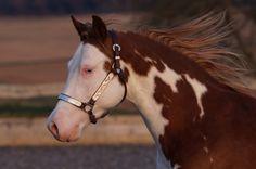 Gunners Revolution × American Paint Horse × Splash White × Hengststation Steinsberg American Paint Horse, American Quarter Horse, Pretty Horses, Horse Love, Beautiful Horses, Quarter Horses, Types Of Horses, Appaloosa Horses, Horse Breeds